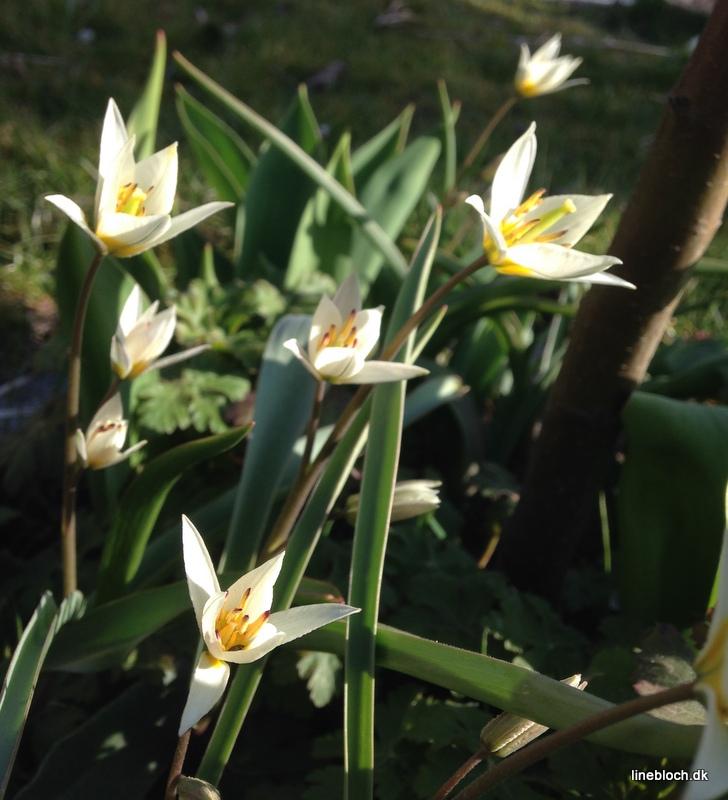 lille vild tulipan